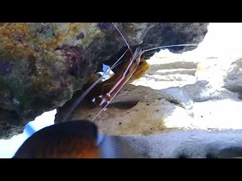 cleaner shrimp cleaning golden dwarf moray eel