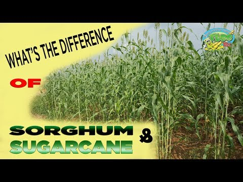 """Sorghum & Sugarcane WHAT""""S THE DIFFERENCE?"""