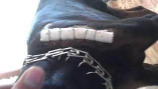 Лечение лимфоэкстравазата у собаки мен доберман(, 2014-09-05T14:46:56.000Z)