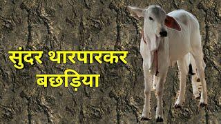 👍 Brahaman 200 Tharparkar Bull calf below 1 year.