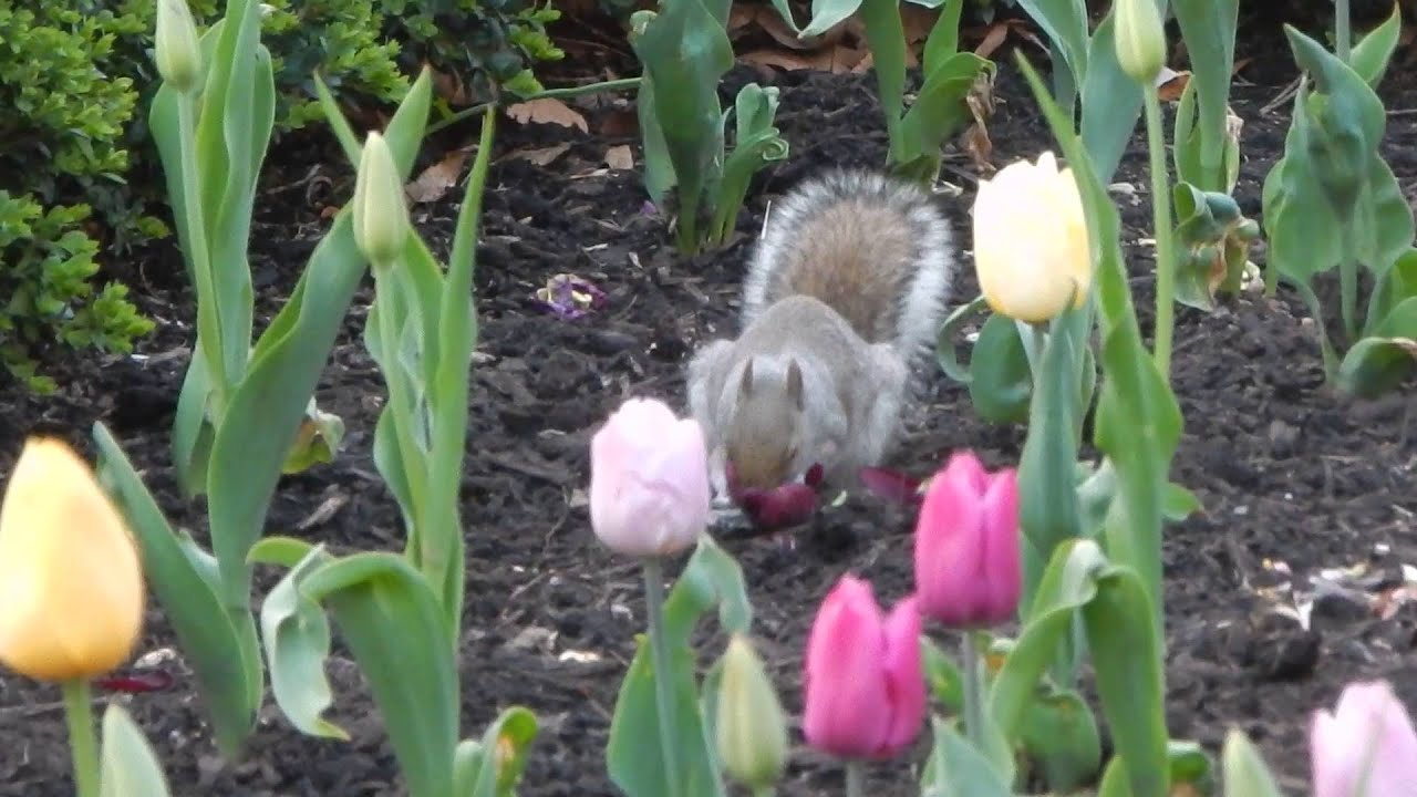Squirrel Eating Tulips In Philadelphia Part 1 Youtube