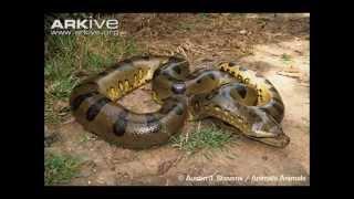 Top 10 serpents les plus longs (RECORDS)