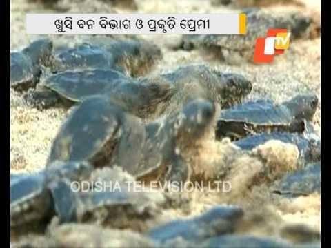 Puri coastal areas turn nesting site of Olive Ridley turtles