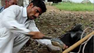 cruelty on animals......india