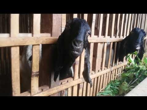 Peternakan Kambing Etawa Desa Ganjaran Gondang legi Malang