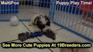 Maltipoo, Puppies, For, Sale, In, Birmingham, Alabama, Al, Montgomery, Tuscaloosa, Jefferson, Shelby