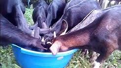 ছাগল পালন প্রশিক্ষণ    ব্ল্যাক বেঙ্গল ছাগল চিনবেন কিভাবে দেখুন    recognize black Bengal goats   