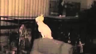 Видео приколы с животными Ацкий отжиг попугая!