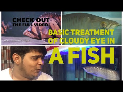 Treatment Of Cloudy Eye In A Fish And Information About RAV Giveaway