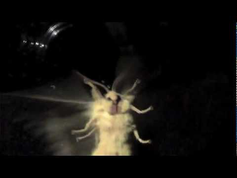 Giant Night Moths # 5    Views of the face, belly and egg laying