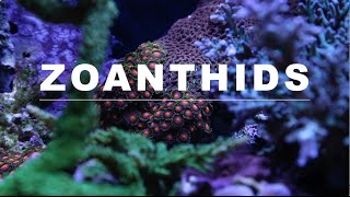 zoanthids care guide