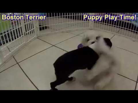Boston Terrier, Puppies, For, Sale, In, Anchorage, Alaska,AK, Fairbanks, Juneau, Eagle River