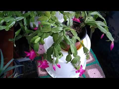 Почему не цветет декабрист? Секреты цветения и ухода за декабристом.(часть 2)