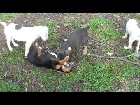 3/4 American Bulldog 1/4 Rottweiler pups 1-16-2016