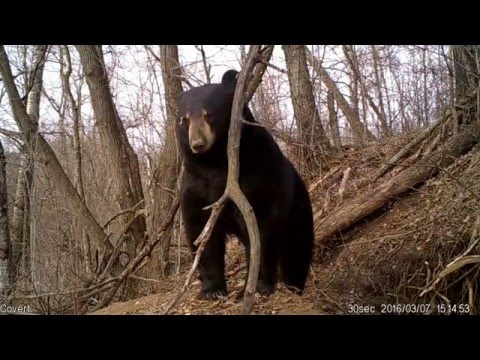 Amazing video of Bear Emerging from Den
