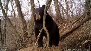 Amazing video of Bear Emerging from Den thumbnail