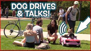 Funny Dog Drives Car & Talks! (Comedy Prank)