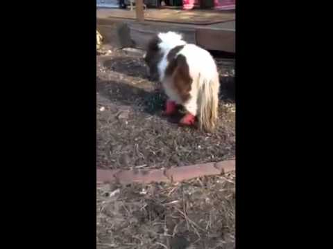 Meet Roo - A miniature horse born with the genetic disorder of dwarfism.