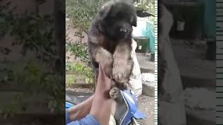 German Shepherd male puppy for sale 009947782952