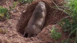 Interesting facts about pocket gopher by weird square