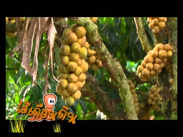 บุญพืช-ลองกอง คุณโกวิทย์  เวชการี จ.จันทบุรี