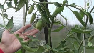 видео Болезни помидоров в теплице/скручиваются листья/вершинная гниль/фитофтороз