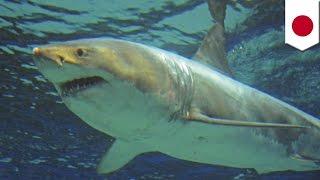Great white shark survives just three days in captivity at Okinawa Churaumi Aquarium - TomoNews