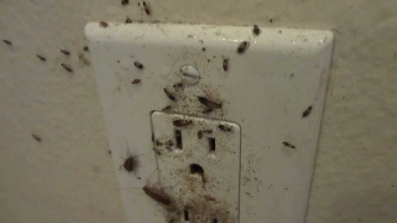 German Roaches Inside Wall Outlet