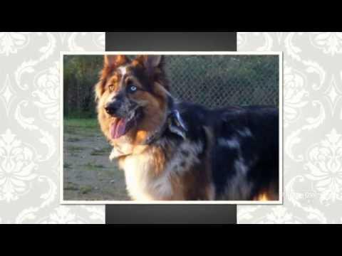 German Australian Shepherd Dog breed