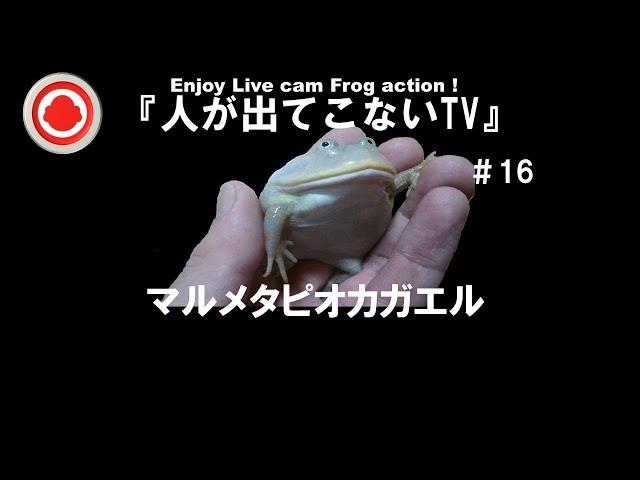 #16『人が出てこないTV』4/1㈭生配信マルメタピオカガエル