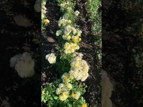 Вопрос: Какие сорта белых роз лучше для бордюра возле дома?