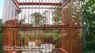 Download Video Suara Burung Ciblek Dada Kuning MP3 3GP MP4
