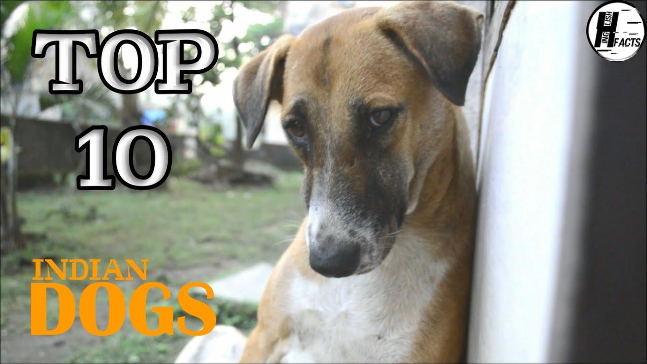 Top 10 Indian Dog Breed Hindi Top 10 List Hinglish