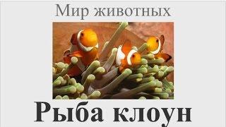 видео Рыба-клоун оцеллярис - морская рыбка содержание, виды, уход
