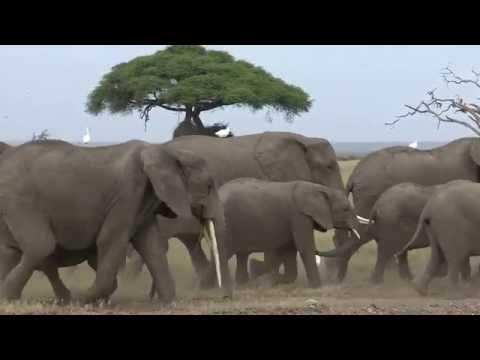 4K Elefanten im Amboseli N.P. Kenia (Ultra HD) 25fps