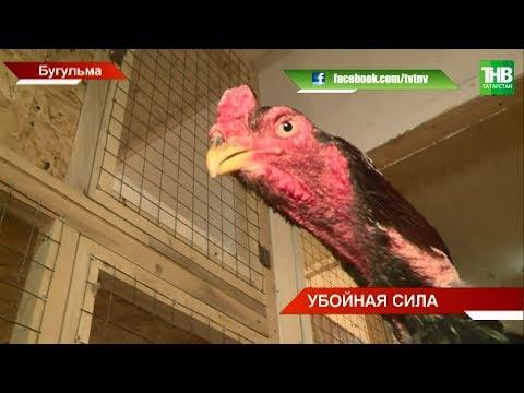 Житель Бугульмы разводит бойцовых петухов | ТНВ