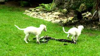 Borzoi Puppies Playing