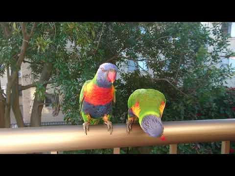 Balcony birds broadbeach queensland