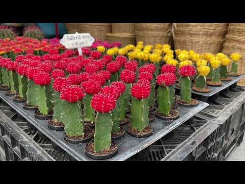 เดินเล่นจตุจักร    ตลาดต้นไม้จตุจักรวันอังคาร ChatuChak Tree Market on Tuesday