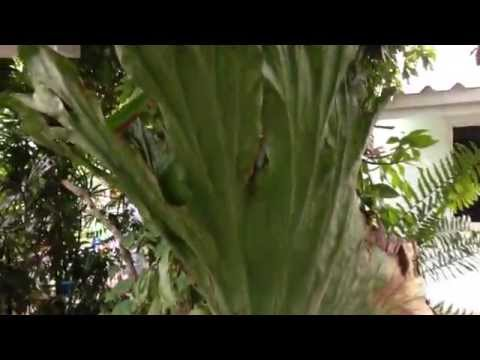 Platycerium Wandae - Staghorn fern - Elkhorn - หูช้างปาปัว - 鹿角蕨