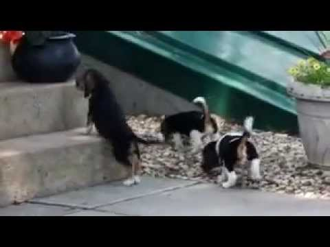 Jack A Bee Puppies For Sale Youtube