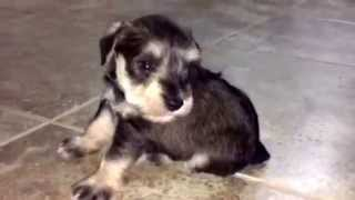 Blue, 3 Wk Old, Salt/pepper, Male, Miniature Schnauzer Learning To Walk On Tile Floor For 1st Time