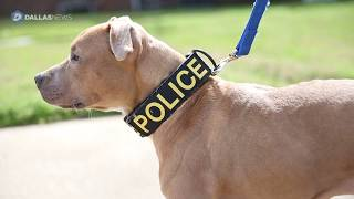 Rescue pit bulls graduate to police dogs in Ferris, TX
