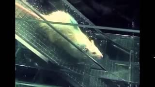 Психологический эксперимент, смотрите!!!(Эксперимент над крысами, выявление лидера в группе между крысами как распределятся ступени иерархии лидер..., 2015-07-27T07:34:30.000Z)