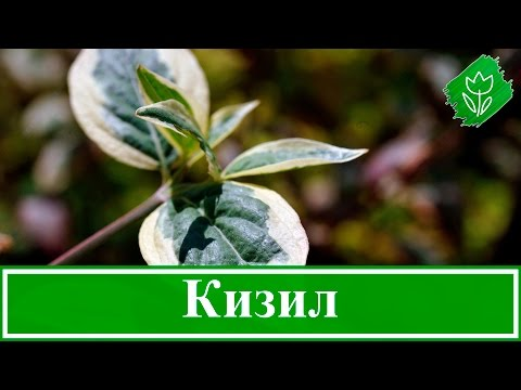 🌿 Кустарник кизил – посадка и уход, обрезка и размножение кизила; свойства и противопоказания
