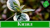 Производство уникального фиточая из плодов унаби (зизифус). Цена указана за 200 гр. Мы находимся в городе москве, являемся официальным.
