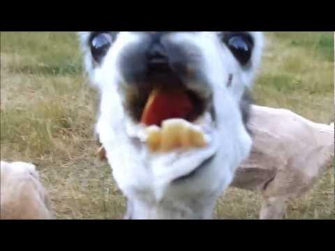 Crazy Llamas