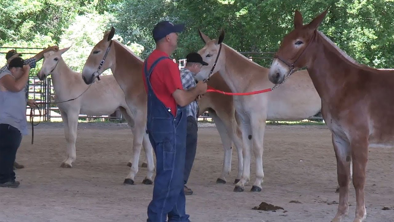 Middle Tennessee Mule Show 2017