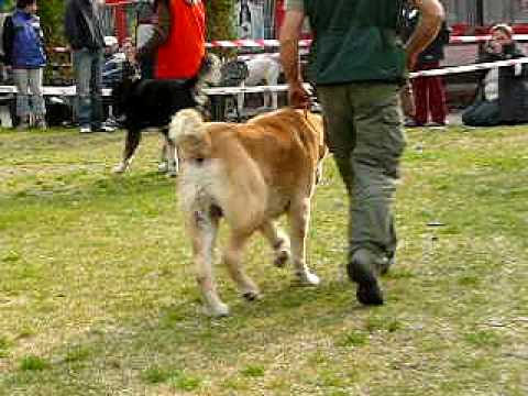 Central Asian Shepherd dog - special dog show 2008
