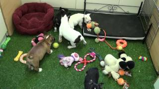 Little Rascals Uk Breeders New Litter Of French X English Bulldog Pups - Puppies For Sale 2015